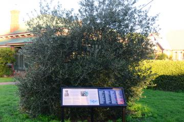The olive tree was planted in memory of Father Thomas Mullins, who was awarded a Military Cross as a Chaplain during the First World War